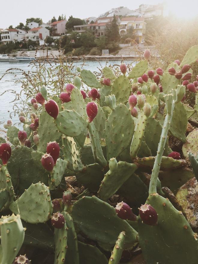 съедобные кактусы Х