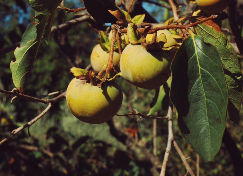 Черногория хурма созревает в садах в горах