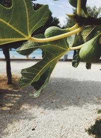 Хорватия инжир море Задар отдых у моря