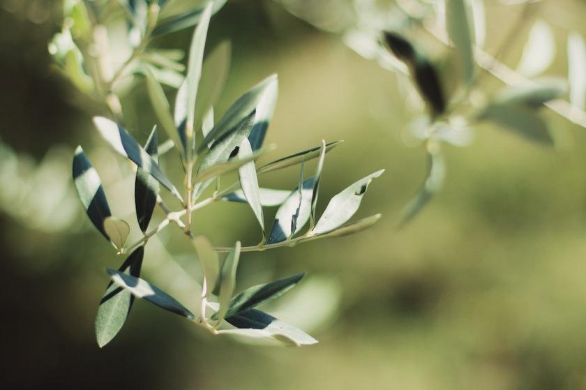 оливковое дерево в Черногории