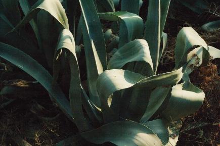 Флора Хорватии агава природа средиземноморья