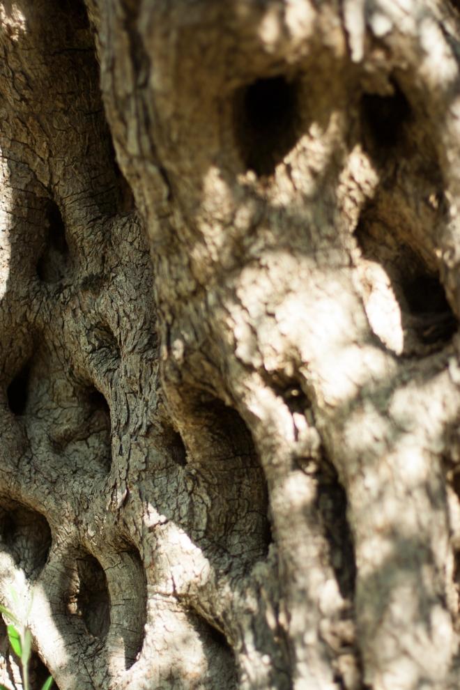 оливковое дерево Черногория лагерь в Старом Баре