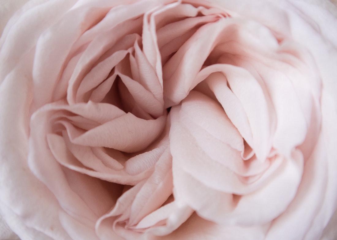 нежно-розовый лепестки розы